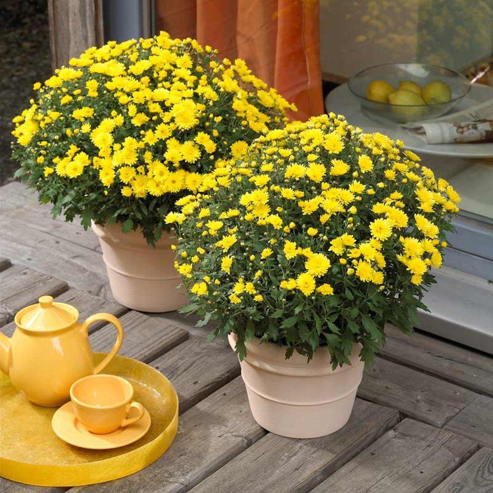 adelaparvu.com despre crizanteme la ghiveci, Text Carli Marian (4)