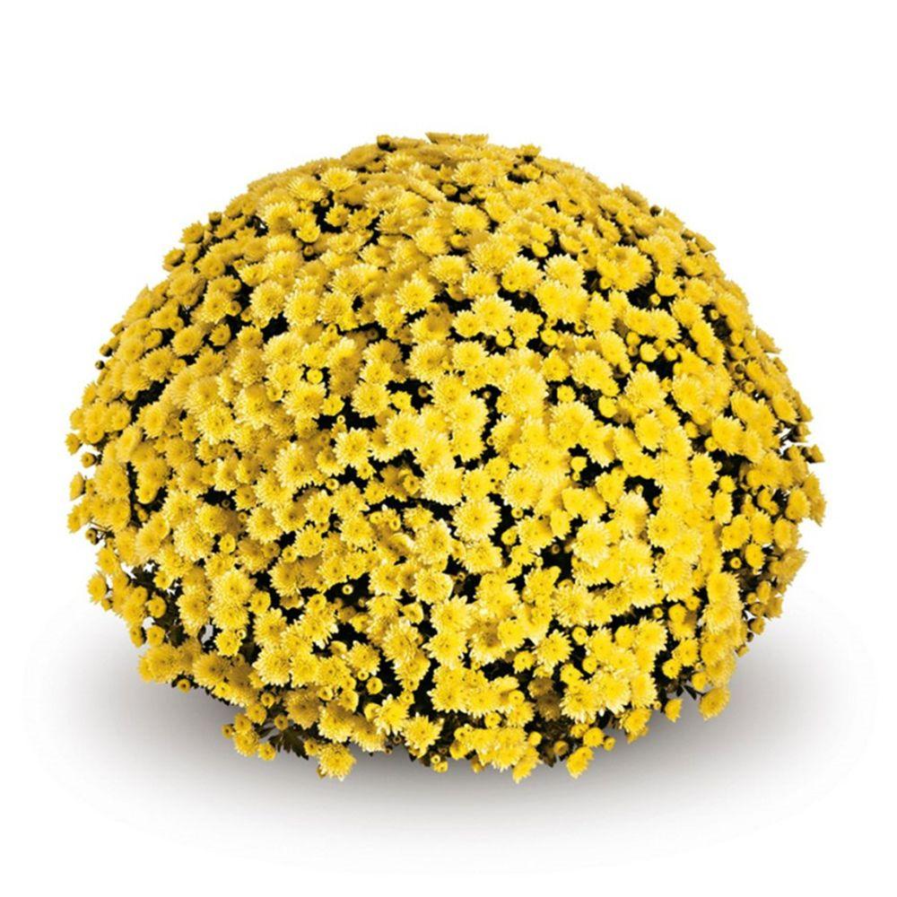 adelaparvu.com despre crizanteme la ghiveci, Text Carli Marian (6)