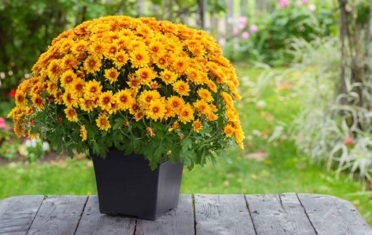 adelaparvu.com despre crizanteme la ghiveci, Text Carli Marian (8)