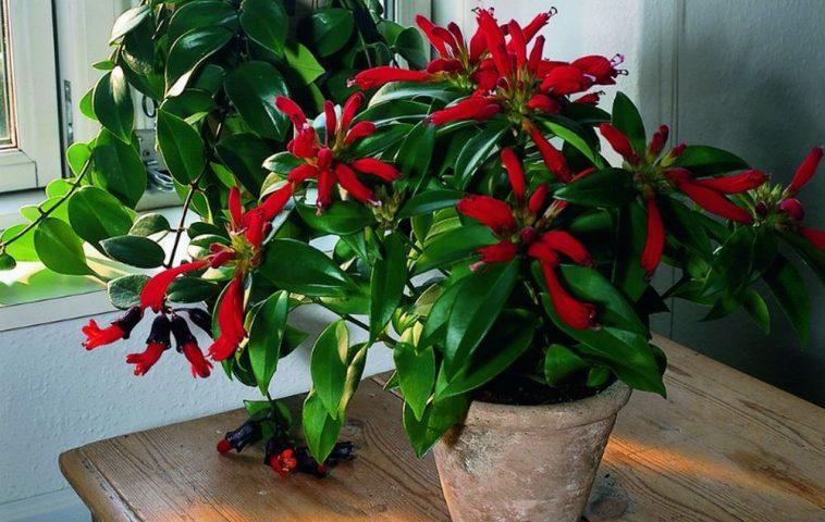 adelaparvu.com despre planta curgatoare cu flori Aeschynanthus, Text Carli Marian (1)