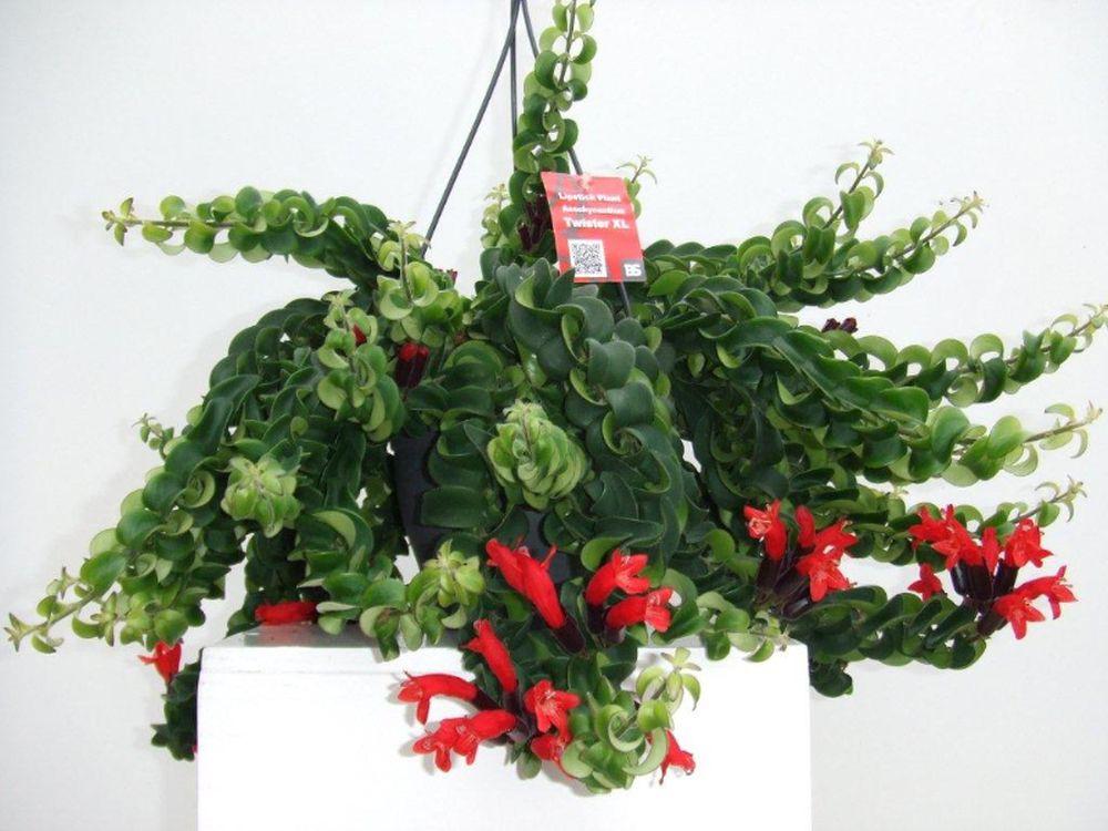 adelaparvu.com despre planta curgatoare cu flori Aeschynanthus, Text Carli Marian (4)