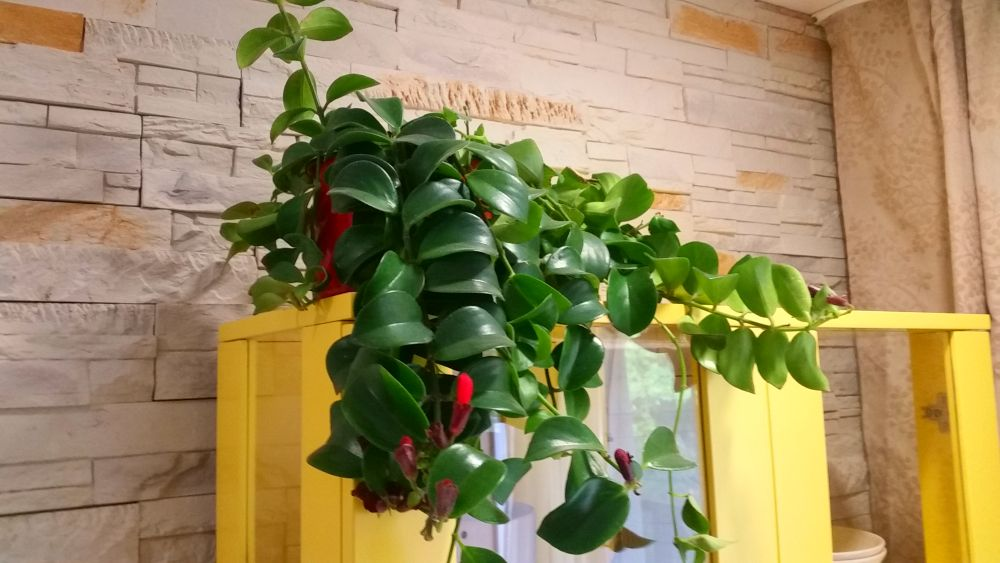 adelaparvu.com despre planta curgatoare cu flori Aeschynanthus, Text Carli Marian (6)