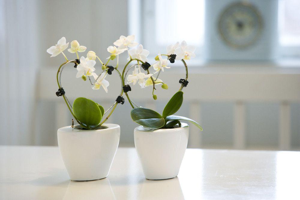 adelaparvu.com despre detasarea puilor de orhidee, keiki, Text Carli Marian (2)