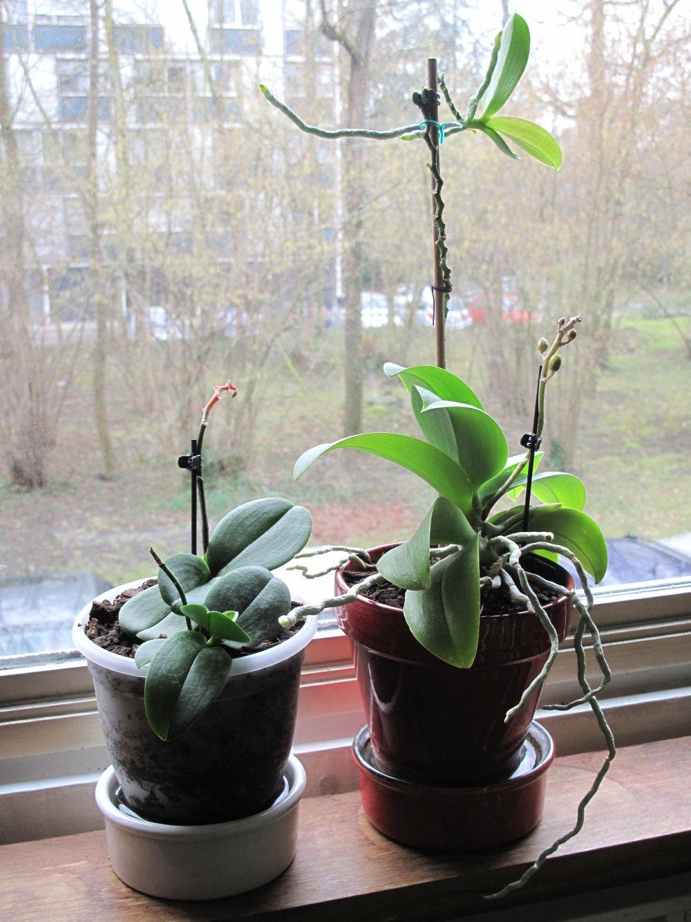 adelaparvu.com despre detasarea puilor de orhidee, keiki, Text Carli Marian (3)