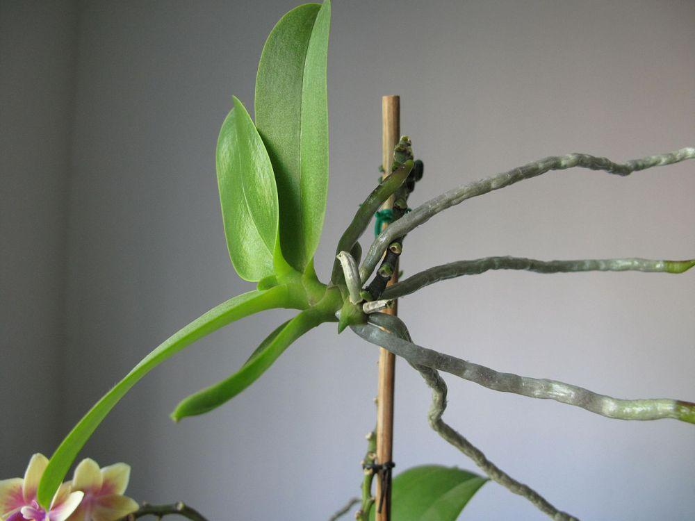 adelaparvu.com despre detasarea puilor de orhidee, keiki, Text Carli Marian (4)