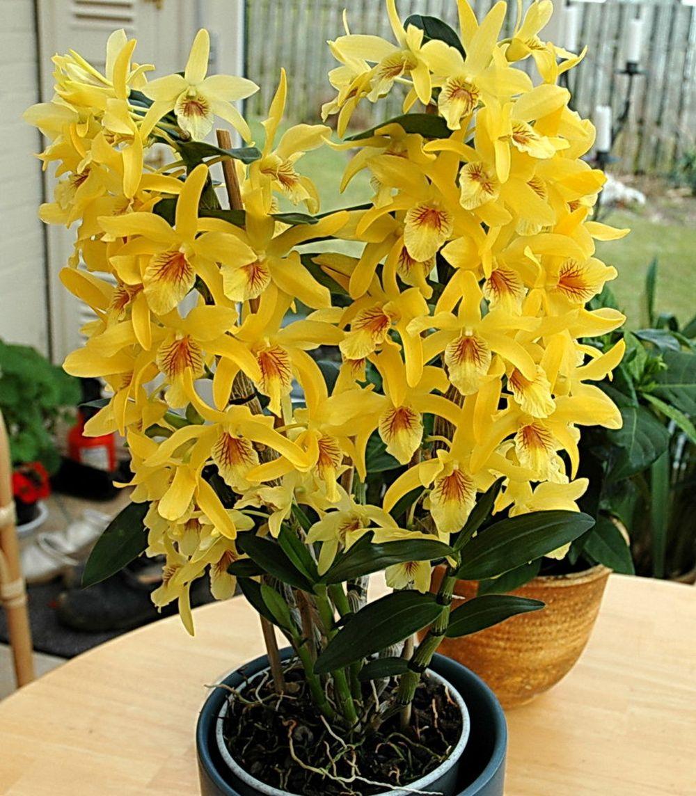 adelaparvu.com despre ingrijirea orhideei Dendrobium nobile, text Carli Marian (12)