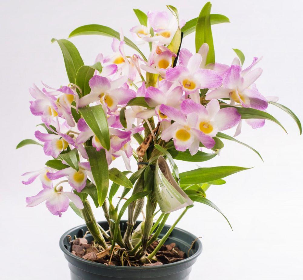 adelaparvu.com despre ingrijirea orhideei Dendrobium nobile, text Carli Marian (13)