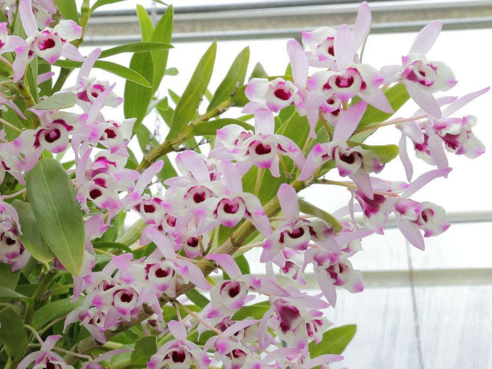 adelaparvu.com despre ingrijirea orhideei Dendrobium nobile, text Carli Marian (2)