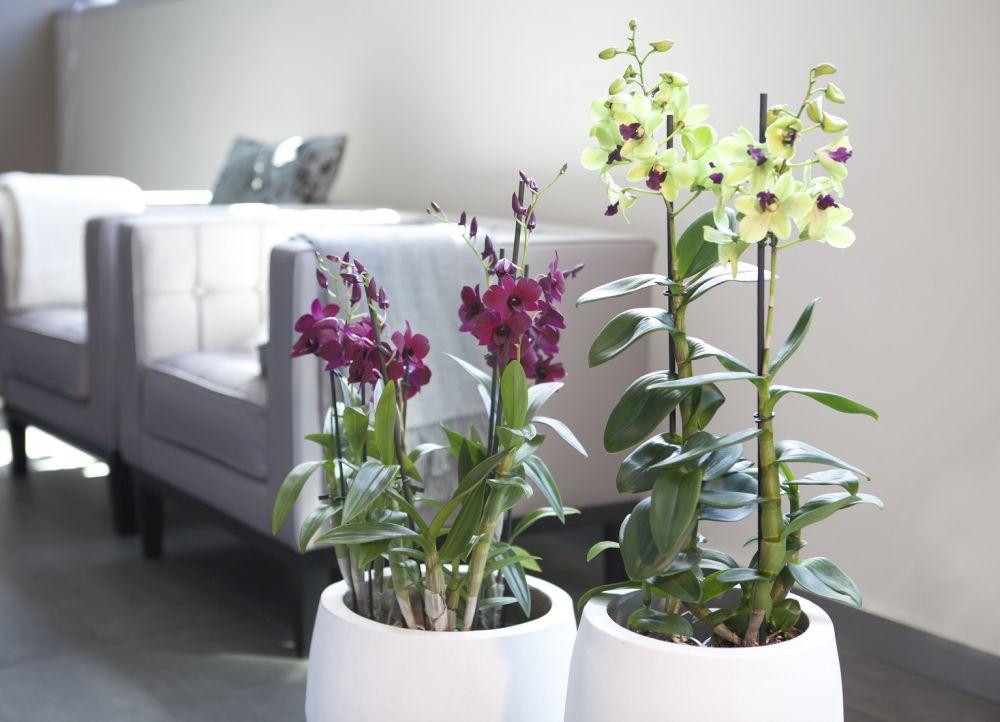 adelaparvu.com despre ingrijirea orhideei Dendrobium nobile, text Carli Marian (3)