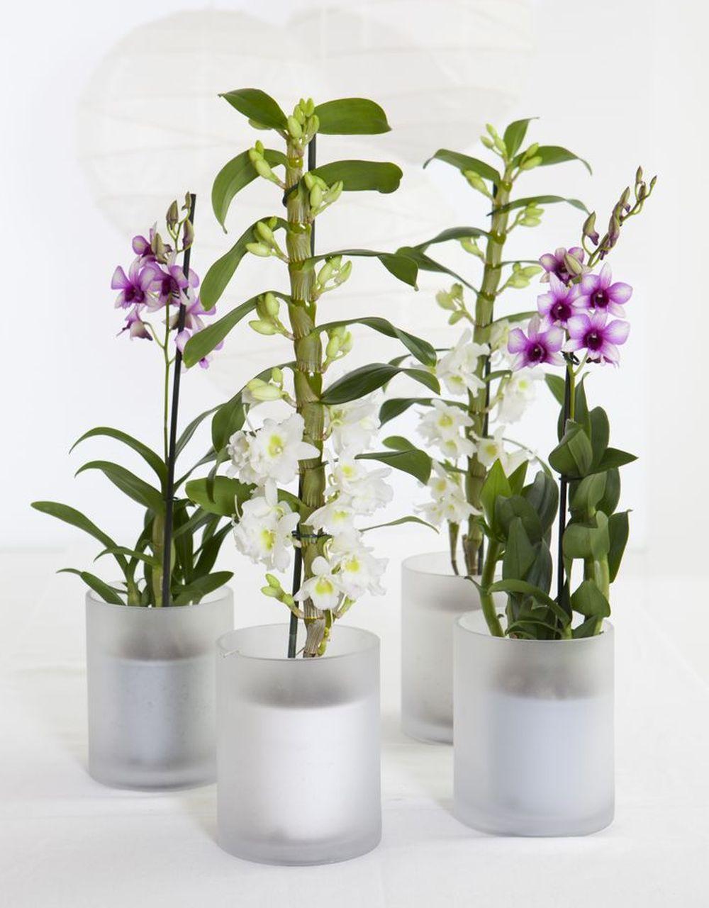 adelaparvu.com despre ingrijirea orhideei Dendrobium nobile, text Carli Marian (4)