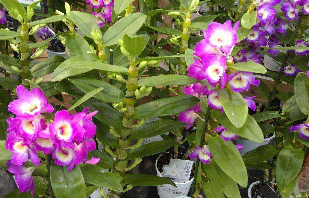 adelaparvu.com despre ingrijirea orhideei Dendrobium nobile, text Carli Marian (5)