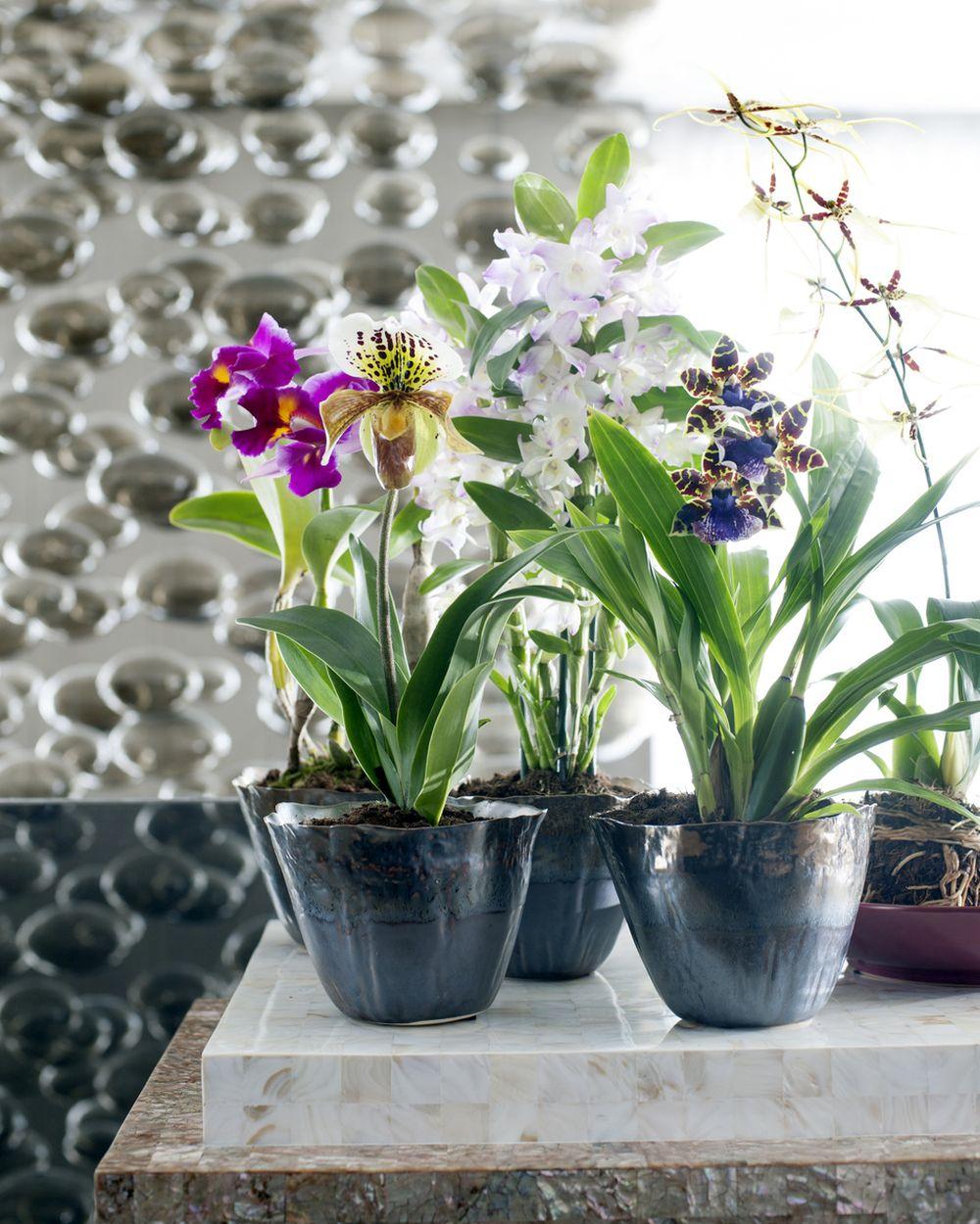 adelaparvu.com despre ingrijirea orhideei Dendrobium nobile, text Carli Marian (6)