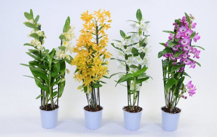 adelaparvu.com despre ingrijirea orhideei Dendrobium nobile, text Carli Marian (9)
