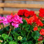 adelaparvu.com despre pregatirea muscatelor pentru iarna, text Carli Marian (3)