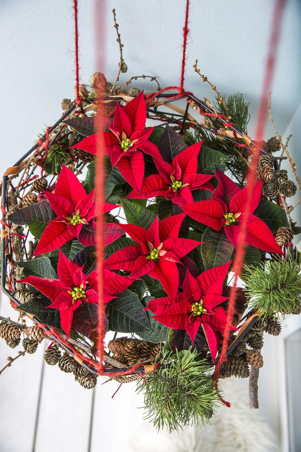 adelaparvu.com despre alegerea plantei Steaua Craciunului, Euphorbia pulcherrima, Text Carli Marian, Foto Floradania (1)