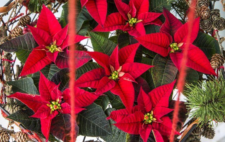 adelaparvu.com despre alegerea plantei Steaua Craciunului, Euphorbia pulcherrima, Text Carli Marian, Foto Floradania (2)
