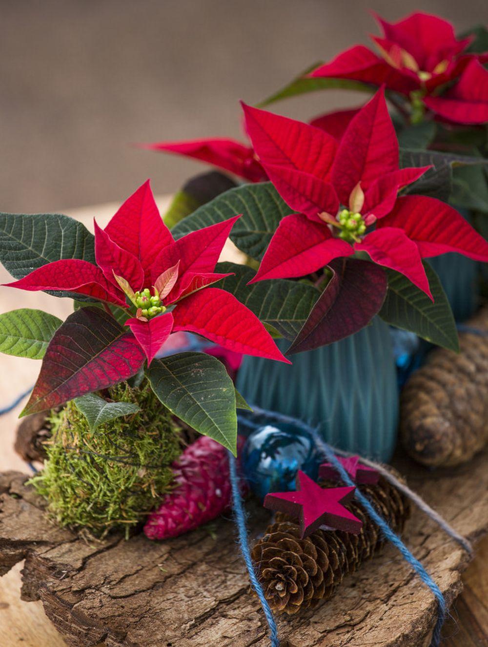 adelaparvu.com despre alegerea plantei Steaua Craciunului, Euphorbia pulcherrima, Text Carli Marian, Foto Floradania (3)