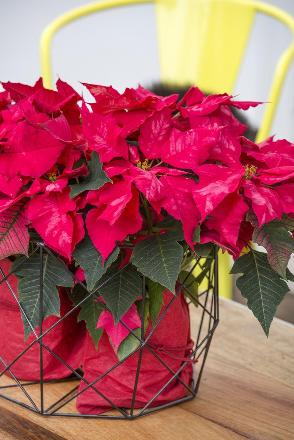 adelaparvu.com despre alegerea plantei Steaua Craciunului, Euphorbia pulcherrima, Text Carli Marian, Foto Floradania (4)