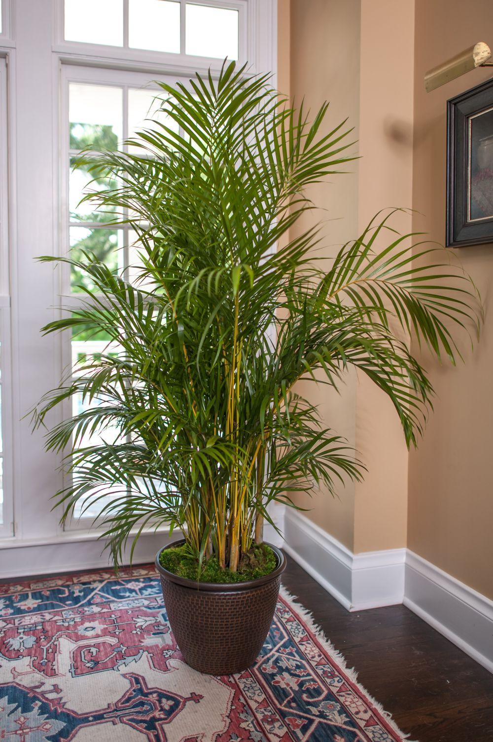 adelaparvu.com despre plante potrivite in dormitor, Text Carli Marian, Foto Areca Palm