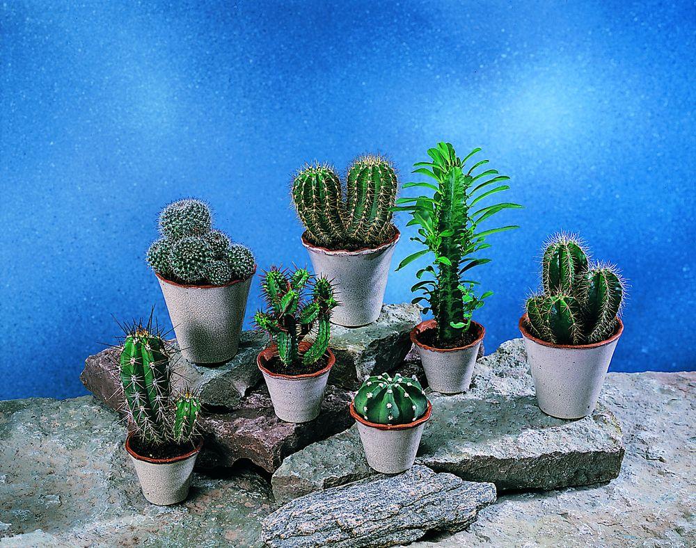 adelaparvu.com despre plante potrivite in dormitor, Text Carli Marian, Foto Floradania, cactus