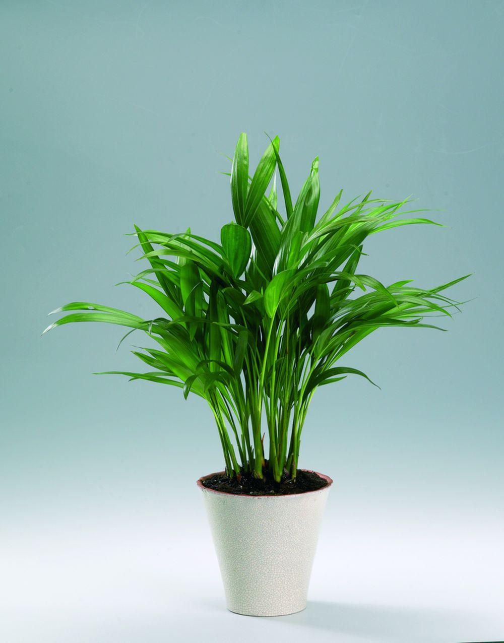adelaparvu.com despre plante potrivite in dormitor, Text Carli Marian, Foto Flordania, areca, chrysalidocarpus lutescens