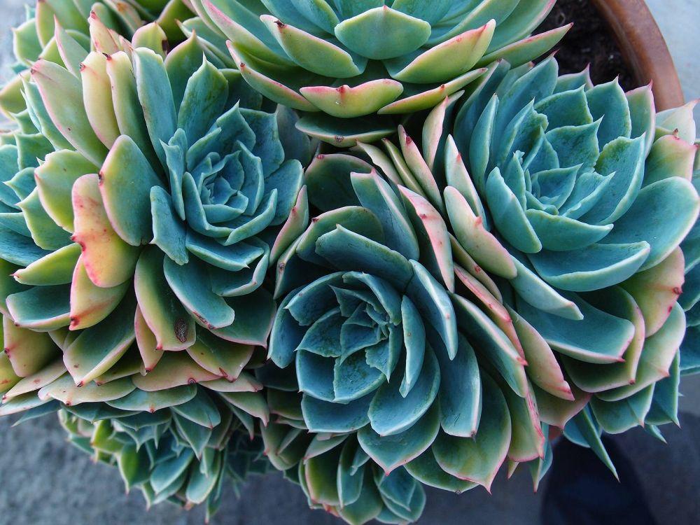 adelaparvu.com despre plante potrivite in dormitor, Text Carli Marian, Foto echeveria crassulaceae