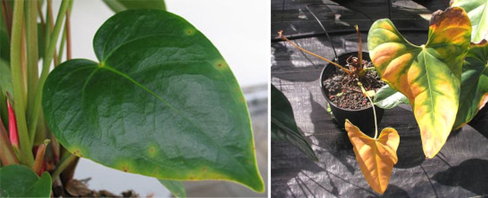 Atacul bacteriei Xanthomonas în fază incipientă (stânga) și în stare avansatp (foto dreapta).