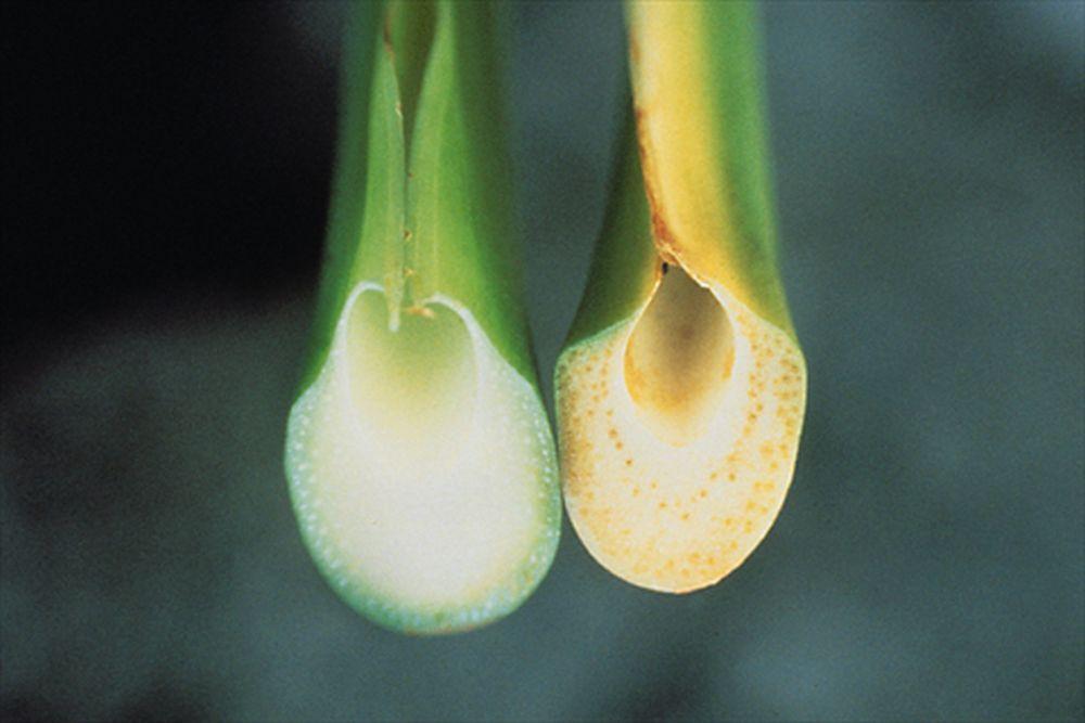 Pețiolul unei frunze sătăoase în stânga și cel al unei plante afectate în dreapta.