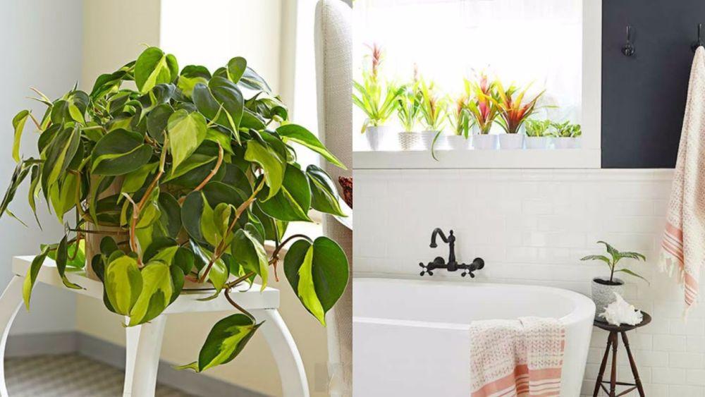 Philodendron și bromelii în spațiul băii.