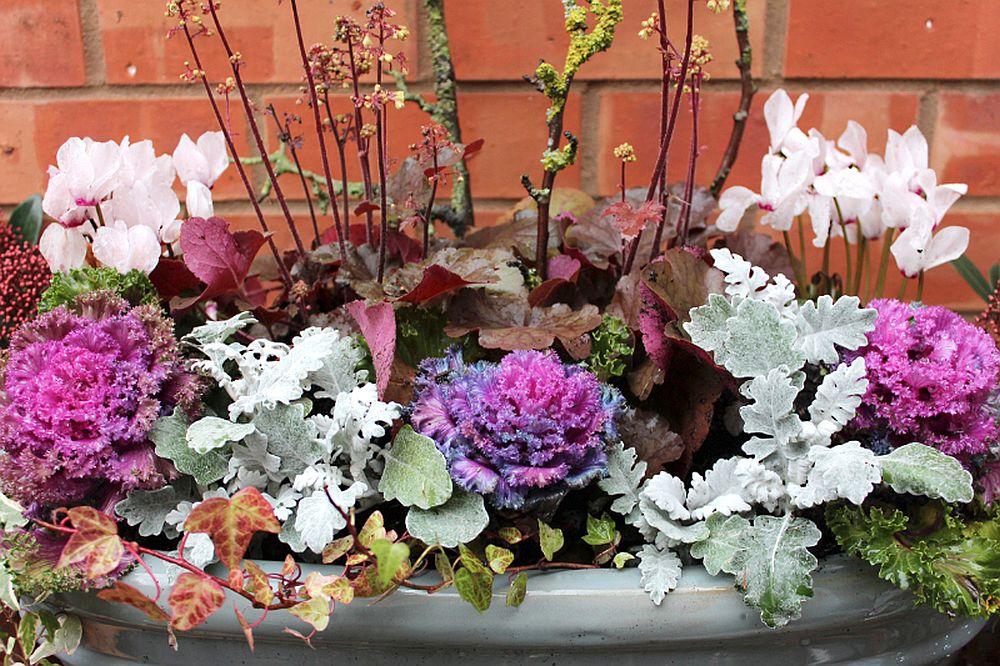 adelaparvu.com despre plante cu frunze argintii, Text Carli Marian, in Foto Senecio Maritima (3)