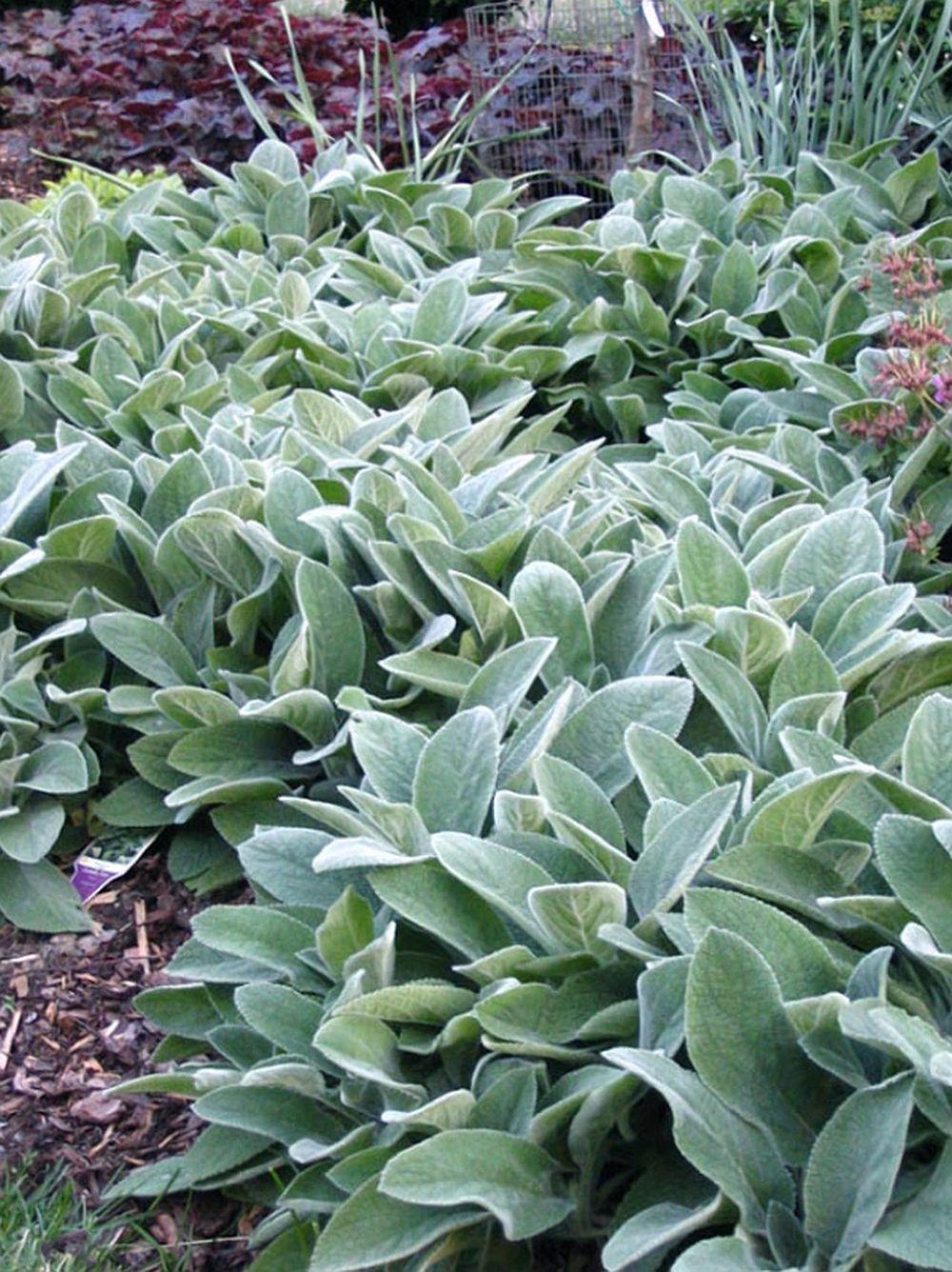 adelaparvu.com despre plante cu frunze argintii, Text Carli Marian, in Foto Stachys byzantina (1)