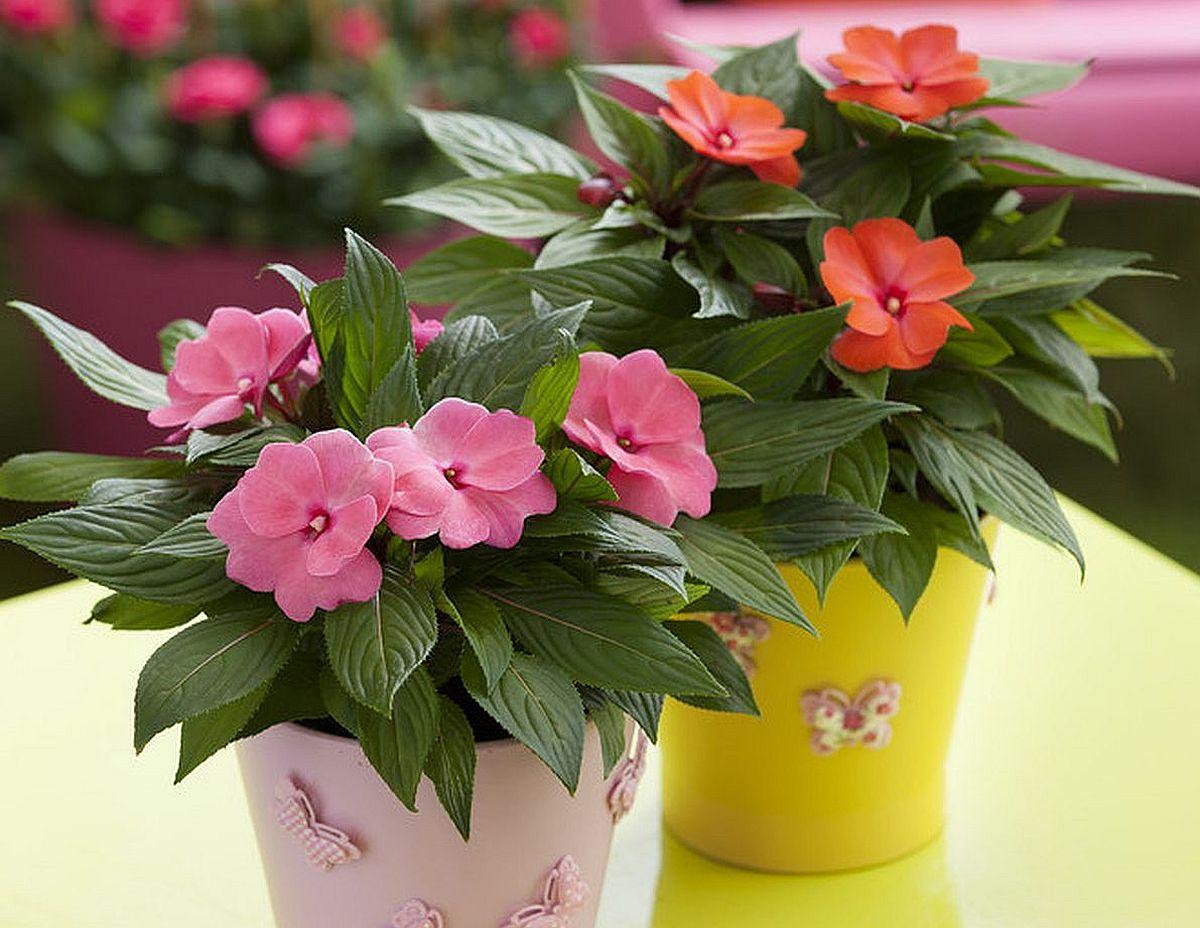 Impatiens, denumită popular și Sporul casei, este o plantă care decorează frumos interioarele, mai ales când înflorește.